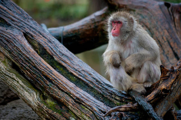 Photograph - Japanese Macaque by Keith Allen