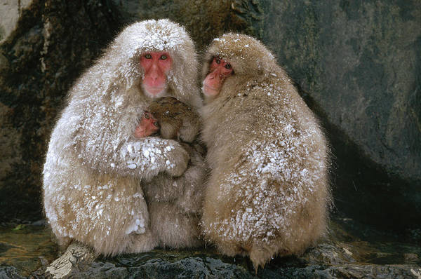 Photograph - Japanese Macaque Macaca Fuscata Family by Konrad Wothe