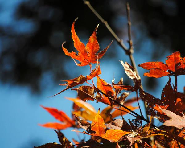 Photograph - Japanese Maple by Jai Johnson