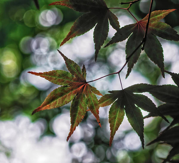 Unframed Wall Art - Photograph - Japanese Maple by Lori Coleman