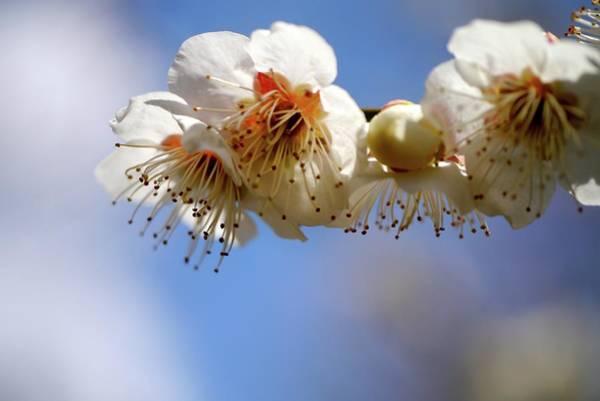 Photograph - Japanese Plum Flowers by T. Kurachi