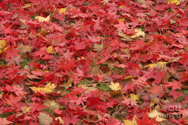 Photograph - Japanese Red Maple Leaves by Ted Kinsman