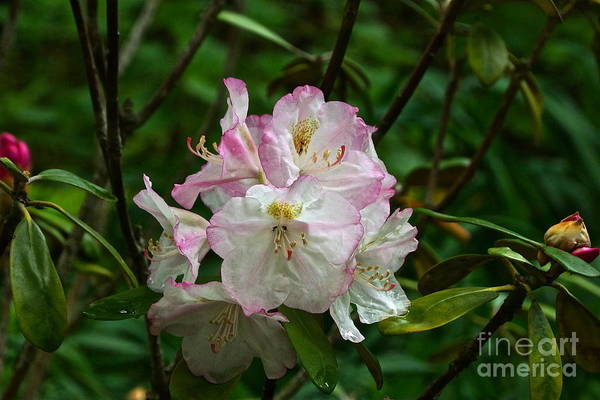 Photograph - Japanese Rhododendron by Byron Varvarigos