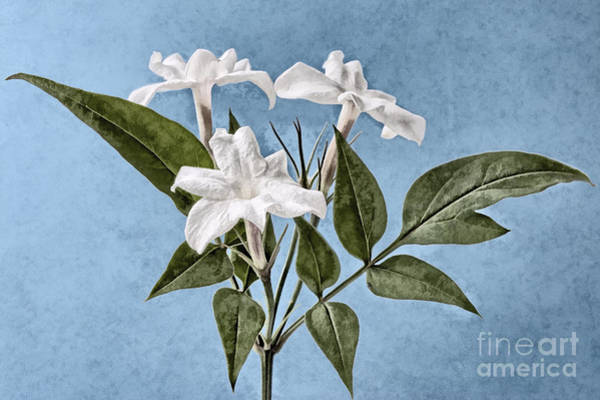 Wall Art - Digital Art - Jasminum Officinale by John Edwards