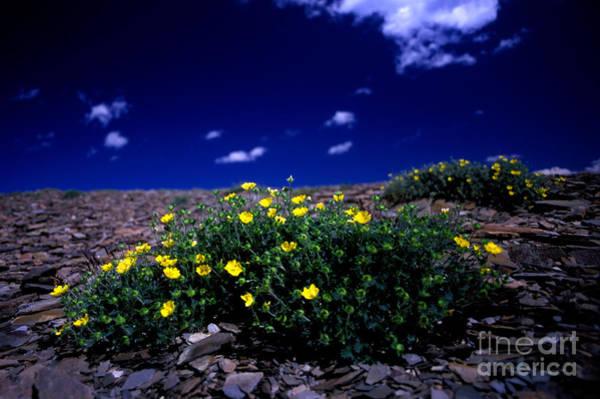 Cinquefoil Photograph - Jasper - The Whistlers Snow Cinquefoil by Terry Elniski