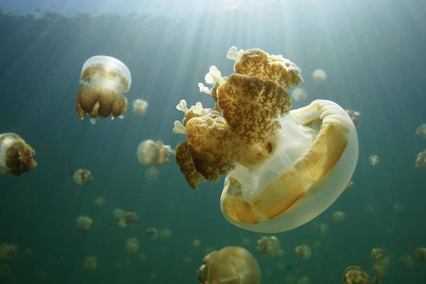Photograph - Jellyfish Mastigias Sp Group Swimming by Hiroya Minakuchi