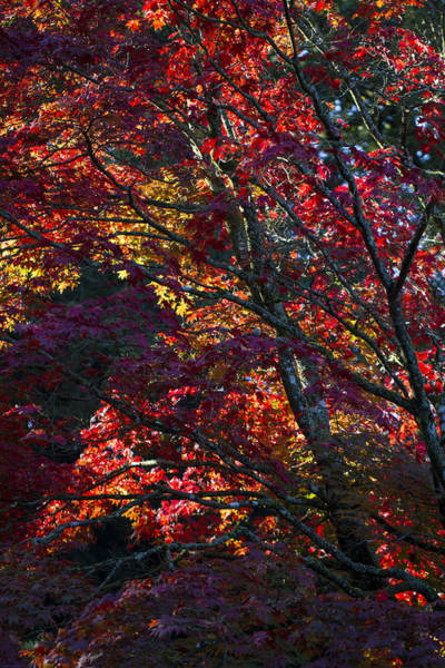 Photograph - Jewel Leaves Of Japanese Maples. by Clare Bambers