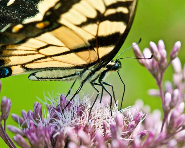 Photograph - Joe Pye Butterfly by Craig Leaper