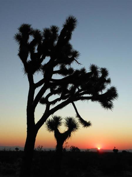 Photograph - Joshua Trees And Sunrise by Don Kreuter