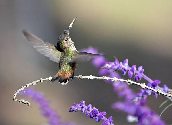 Broad-tailed Hummingbird Photograph - Jubilant by Fraida Gutovich