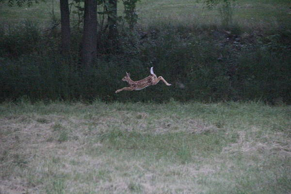 Photograph - Jumping Fawn by Jim Lepard