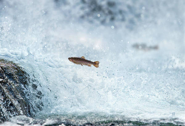 Photograph - Jumping Trout 2 by Steven Llorca