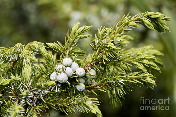 Juniper Berries Wall Art - Photograph - Juniper Berries by Teresa Zieba