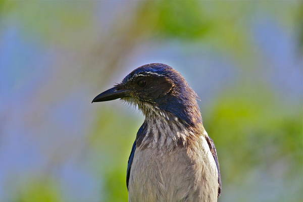 Photograph - Juvenile Jay by Diana Hatcher