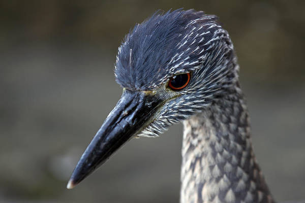 Photograph - Juvenile Night Heron Portrait by Juergen Roth