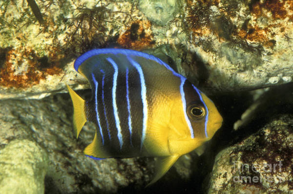 Photograph - Juvenile Queen Angelfish by Greg Dimijian