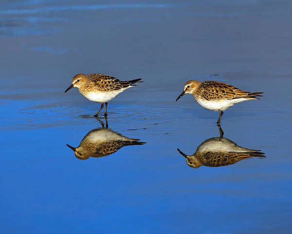Juvenile White-rumped Sandpipers Art Print