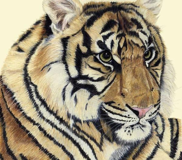 Sumatran Drawing - Kadi - Sumatran Tiger Cub by Pamela Stirling