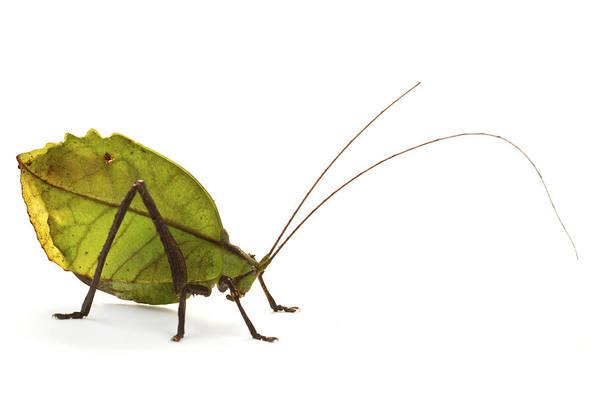 Wall Art - Photograph - Katydid Leaf Mimic La Selvacosta Rica by Piotr Naskrecki