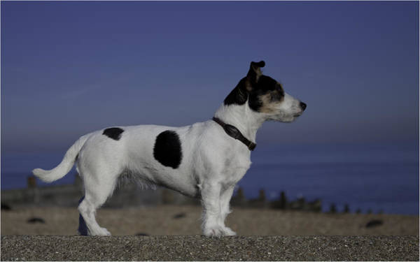 Jack Russell Wall Art - Photograph - Keeping A Look Out by Nigel Jones