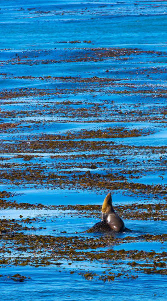Photograph - Kelp And Sea Lion by Adam Pender