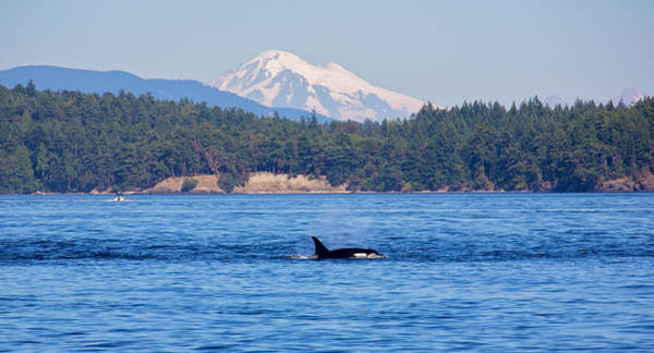Blackfish Wall Art - Photograph - Killer Whales by Ivan SABO