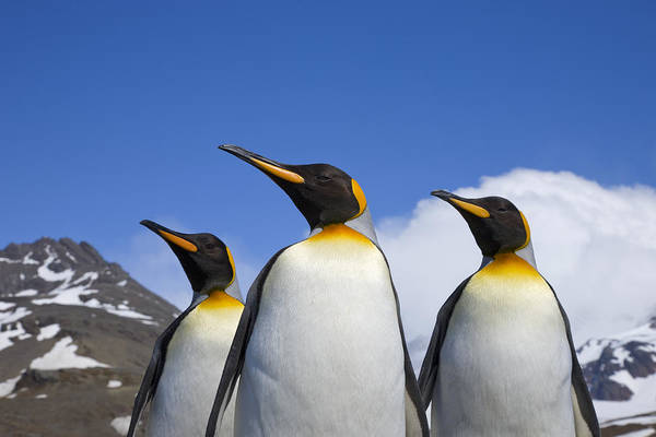 Photograph - King Penguin Trio by Ingo Arndt