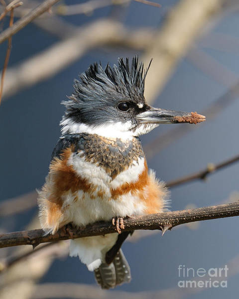Photograph - Kingfisher by Craig Leaper