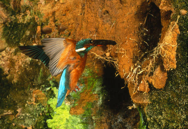 Alcedo Photograph - Kingfisher In Flight by Andy Harmer
