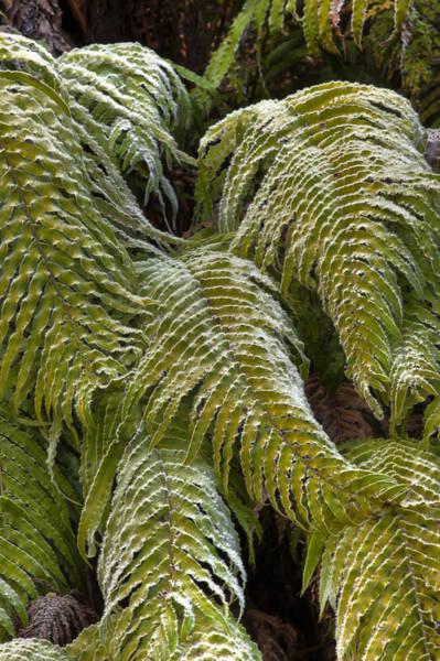 Fern Frost Photograph - Kiokio Blechnum Novae-zelandiae Covered by Colin Monteath