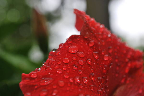 Wall Art - Photograph - Kissed By The Rain Drops by Gloria Warren