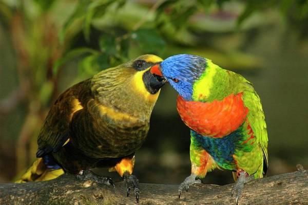 Kissing Birds Art Print