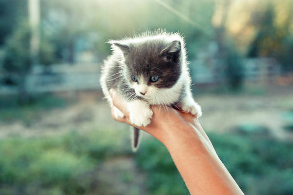 Pet Care Photograph - Kitten In Hand, 2010 by Emily Golitzin