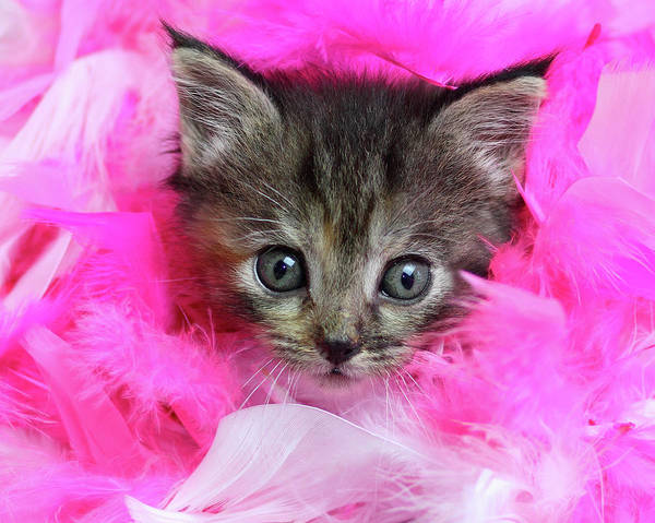 Curiosity Photograph - Kitten In Pink Feathers by Pat Gaines