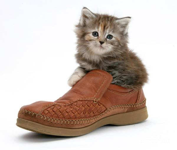 Photograph - Kitten In Shoe by Mark Taylor