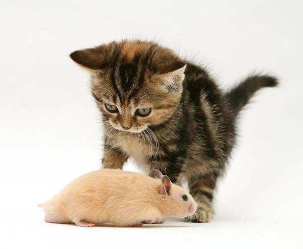 Golden Hamster Photograph - Kitten Inspecting Hamster by Jane Burton