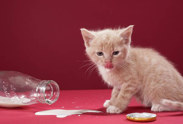 Messier Object Photograph - Kitten Licking Spilt Milk From Bottle by Martin Poole