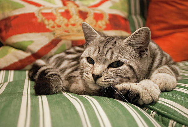 Horizontal Stripes Photograph - Kitten Lying On Striped Couch by Kim Haddon Photography