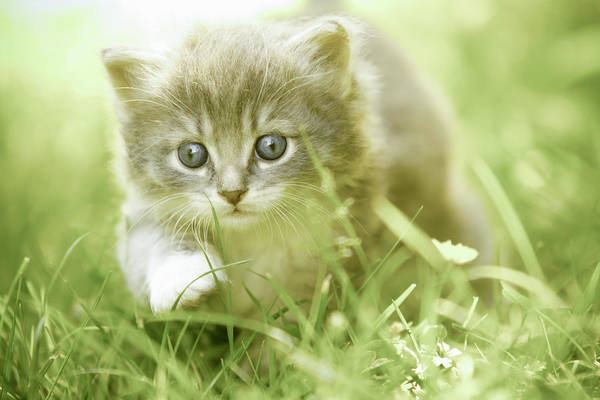 Curiosity Photograph - Kitten Taking Steps In The Grass by Charriau Pierre