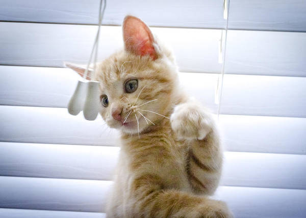 Photograph - Kitten With Blinds by Patrick M Lynch