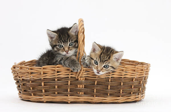 Photograph - Kittens In A Basket by Mark Taylor