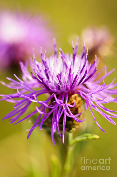 Weeds Photograph - Knapweed Flower by Elena Elisseeva