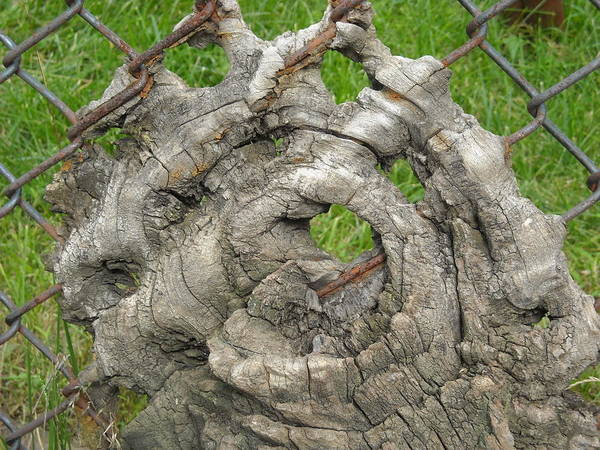 Knot In Fence 1 Art Print