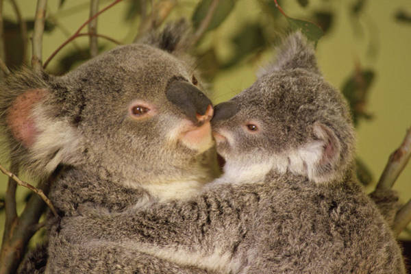 Photograph - Koala Phascolarctos Cinereus Mother by Gerry Ellis