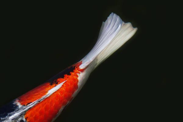 Koi Photograph - Koi Tail by Rebecca Cozart