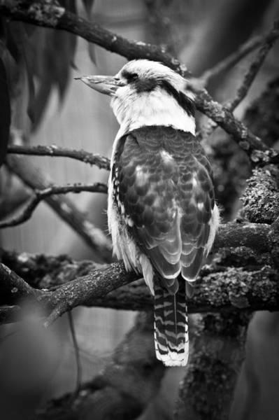 Photograph - Kookaburra by Chris Boulton