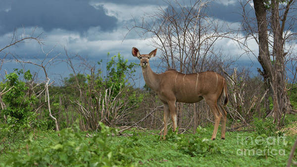 Kudu Female Posing Art Print