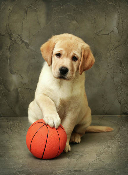 Puppy Photograph - Labrador Puppy With Red Ball by Sergey Ryumin