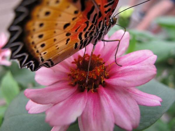 Wall Art - Photograph - Lacewing Butterfly by Valia Bradshaw