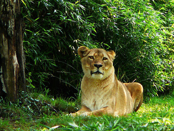 Photograph - Lady Lion Relaxing by Susan Savad